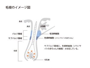 毛根のイメージ図